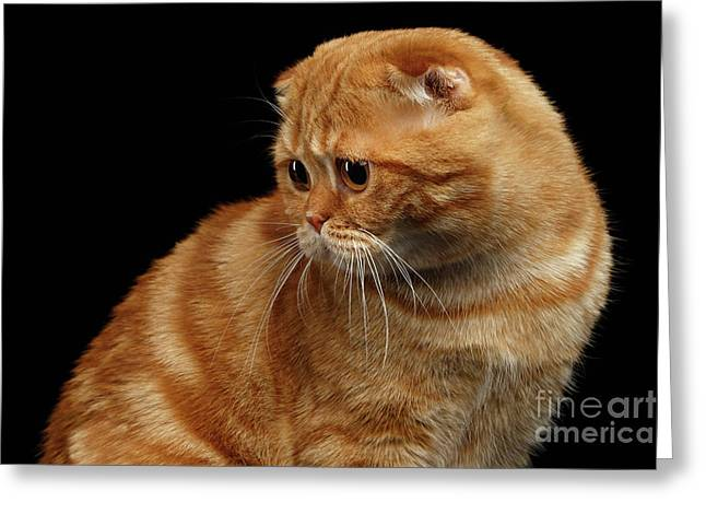 Ginger Scottish Fold Cat Looking Back Isolated On Black  Greeting Card by Sergey Taran