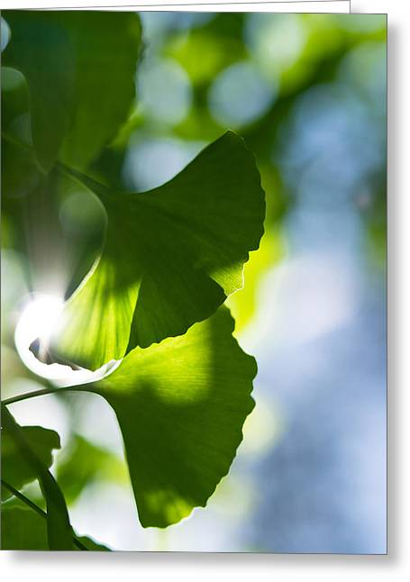 Gingko Leaves In The Sun Greeting Card