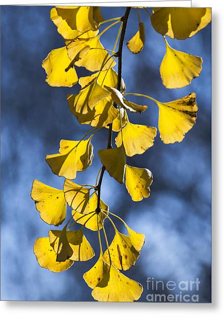 Ginkgo Biloba - D009761 Greeting Card by Daniel Dempster