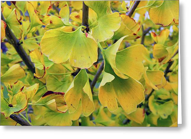 Pamela Patch Greeting Cards - Ginkgo Gold Greeting Card by Pamela Patch