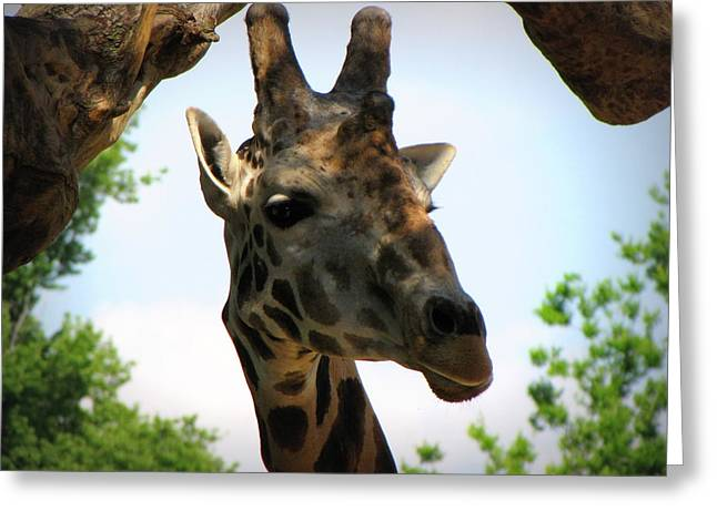 Greeting Card featuring the photograph Giraffe by Beth Vincent