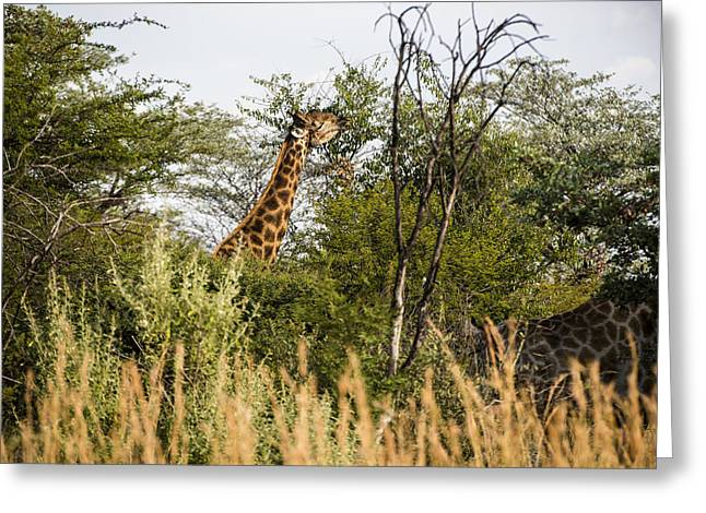 Giraffe Browsing Greeting Card