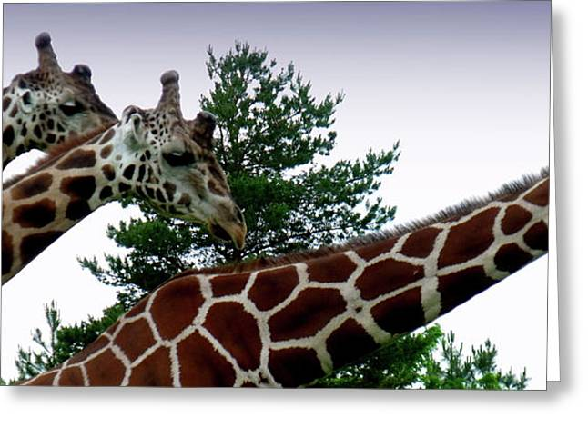 Giraffe Greeting Card by Jeremy Martinson