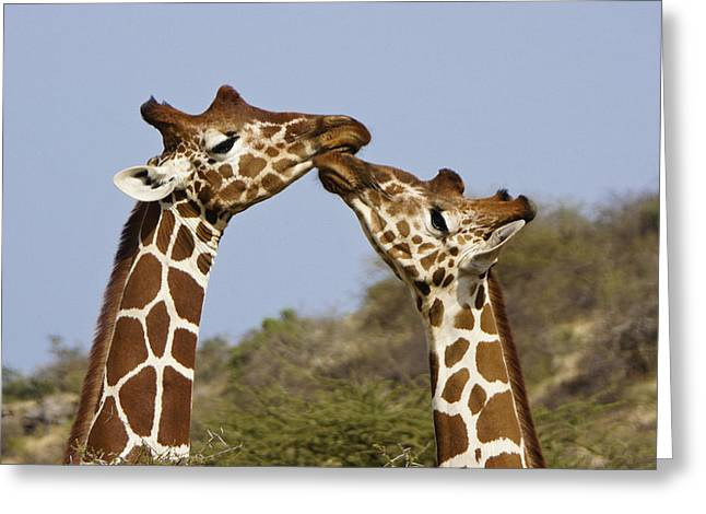 Giraffe Kisses Greeting Card by Michele Burgess