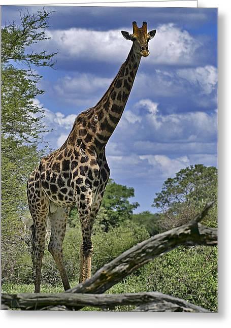 Giraffe Greeting Card by Mario De Matos