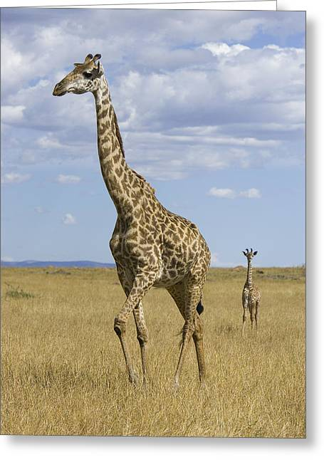 Giraffe Mother And 3 Week Old Calf Greeting Card by Suzi Eszterhas