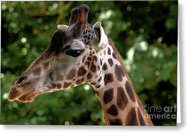 Giraffe Portrait Greeting Card