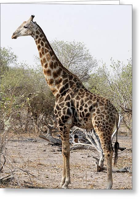 Giraffe Greeting Card by Robert Shard