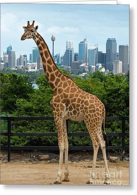 Giraffe Sydney 2 Greeting Card by Andrew Michael