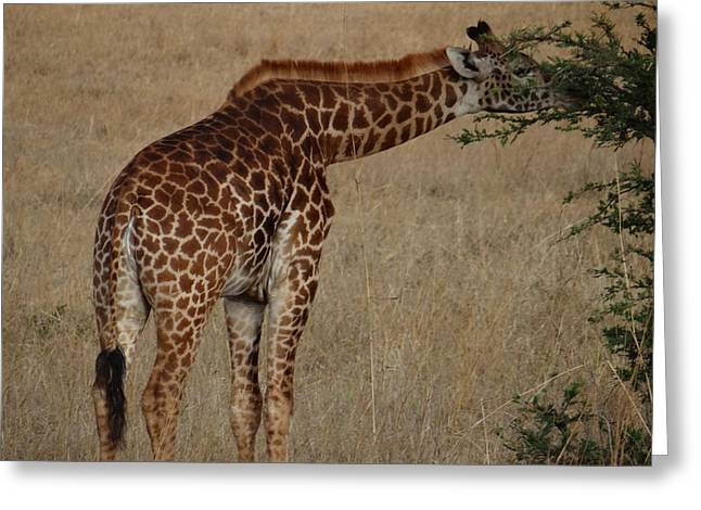 Giraffes Eating - Side View Greeting Card