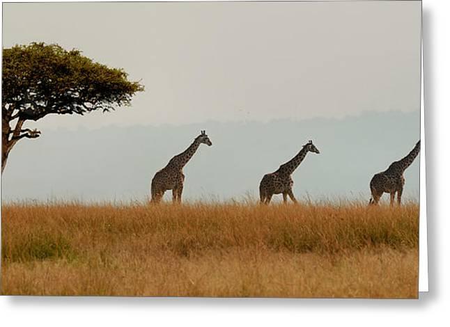 Giraffes On Parade Greeting Card by Joe Bonita