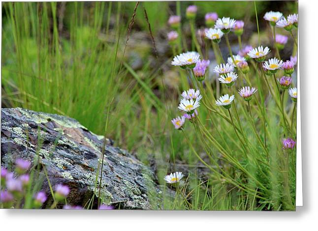 Glacial Daisies  Greeting Card by Karon Melillo DeVega