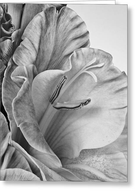 Gladiola In Grays Greeting Card
