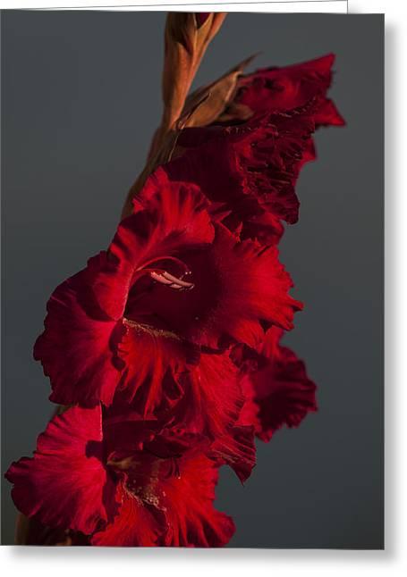 Gladiolus Against A Dark Cloud Greeting Card