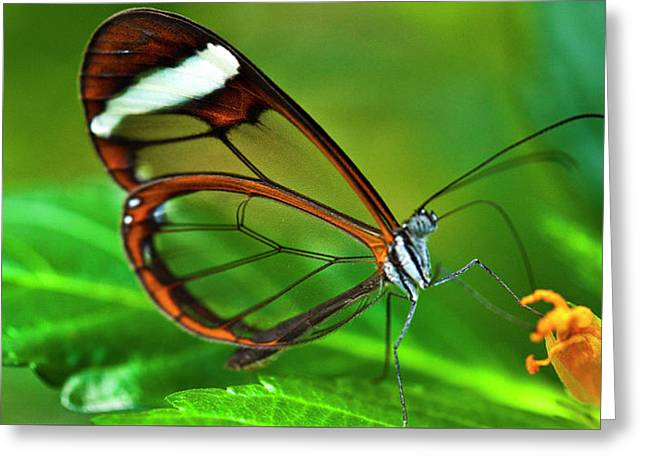 Greeting Card featuring the photograph Glasswinged Butterfly by Ralph A Ledergerber