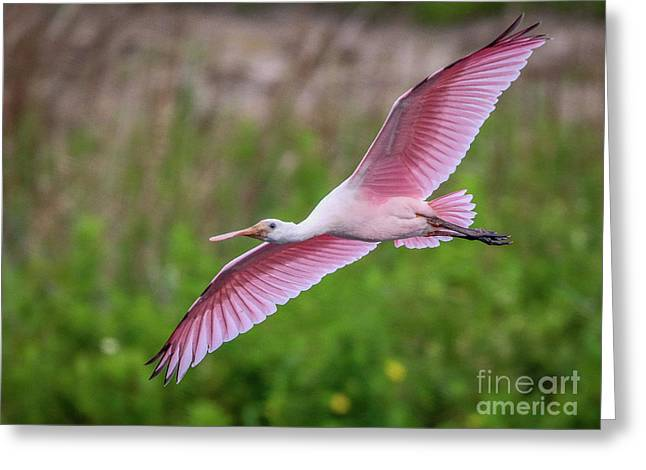 Gliding Spoonbill Greeting Card