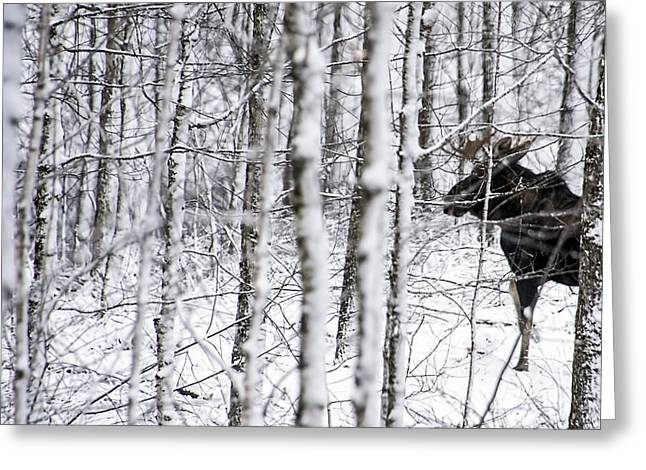 Glimpse Of Bull Moose Greeting Card
