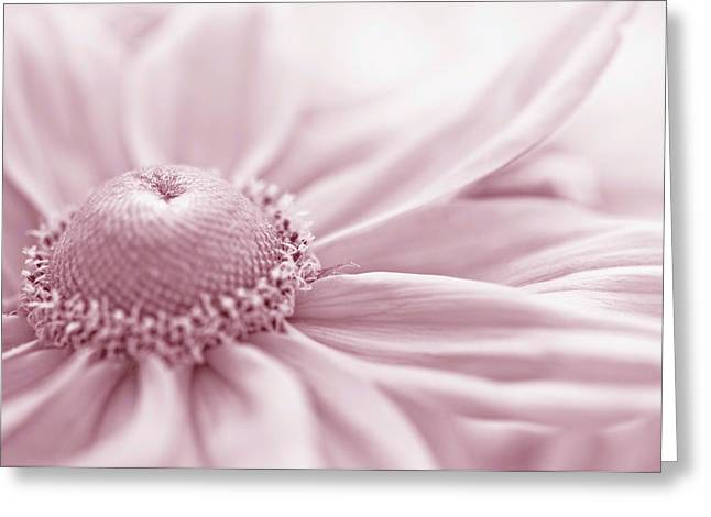 Gloriosa Daisy In Pink  Greeting Card