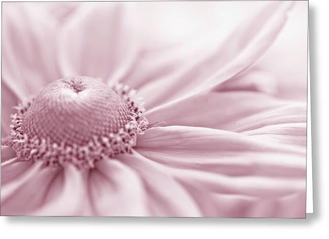 Gloriosa Daisy In Pink  Greeting Card