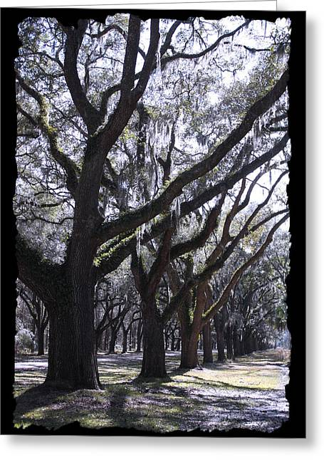 Country Lanes Digital Greeting Cards - Glorious Live Oaks with Framing Greeting Card by Carol Groenen