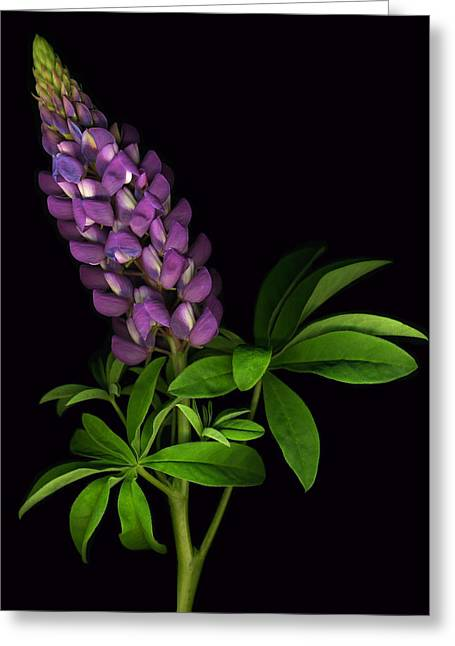 Glorious Purple Lupine Greeting Card