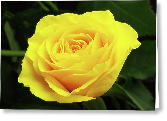 Glorious Yellow Rose Greeting Card