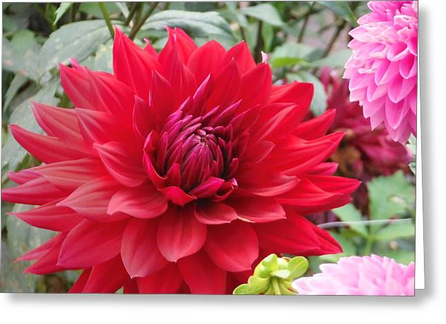 Glory Crimson Dahlia  Greeting Card