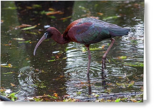 Glossy Ibis Greeting Card by Capt Gerry Hare