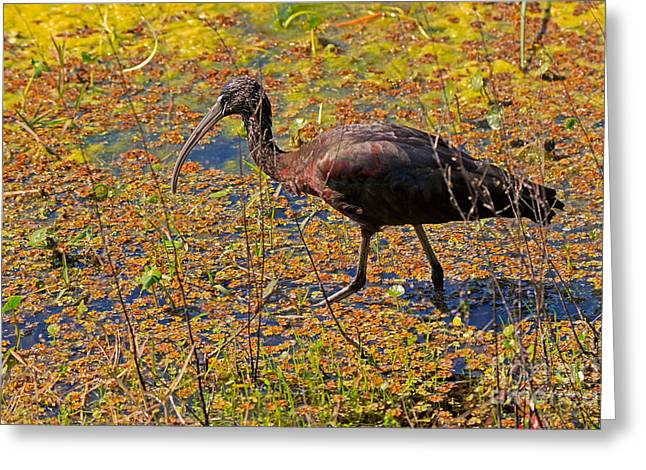 Glossy Ibis Greeting Card by Louise Heusinkveld