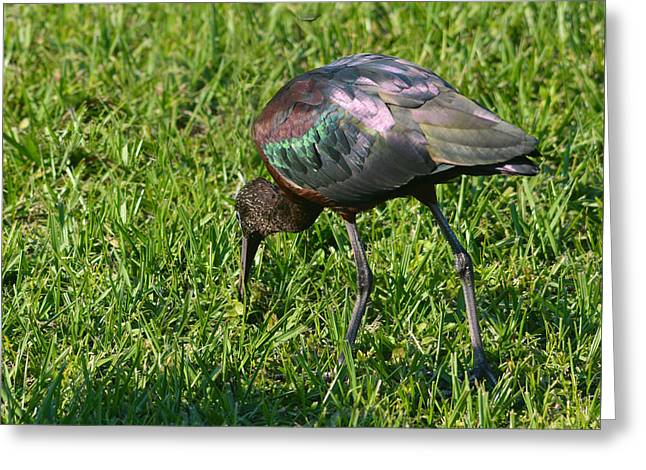 Greeting Card featuring the pyrography Glossy Ibis by Sally Sperry