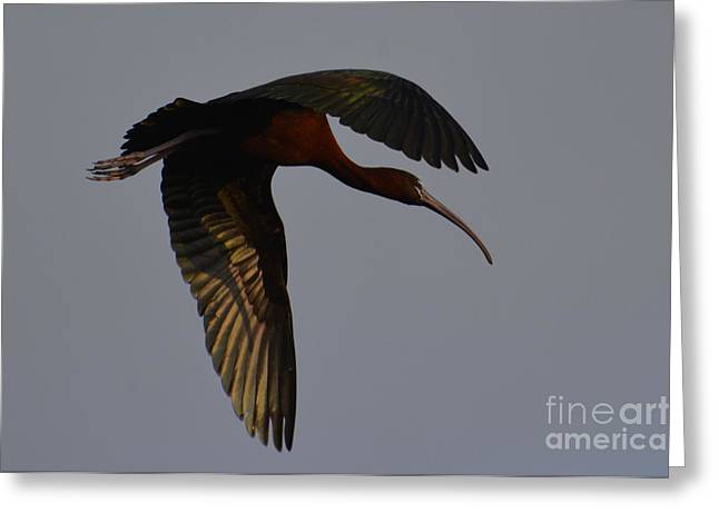 Glossy In Flight Greeting Card