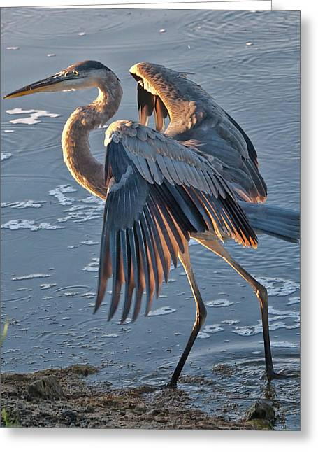Glowing In The Sun - Heron Greeting Card