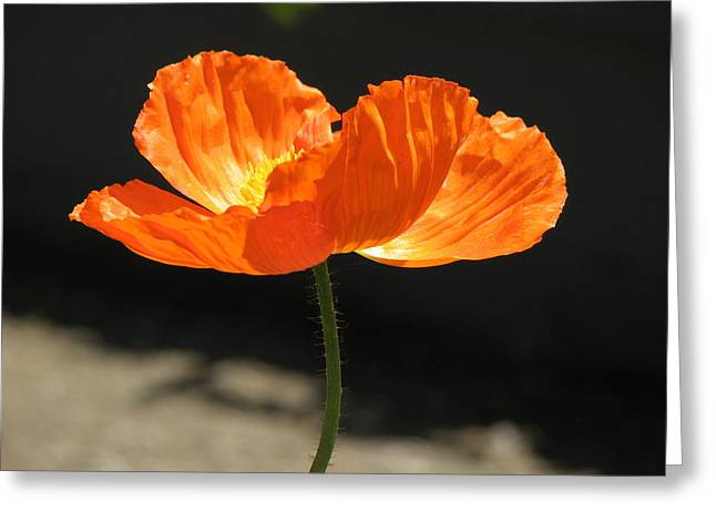 Glowing Poppy Greeting Card by Helaine Cummins