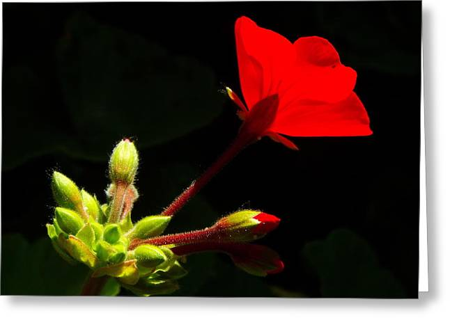 Glowing Red Blossom Greeting Card by KaFra Art