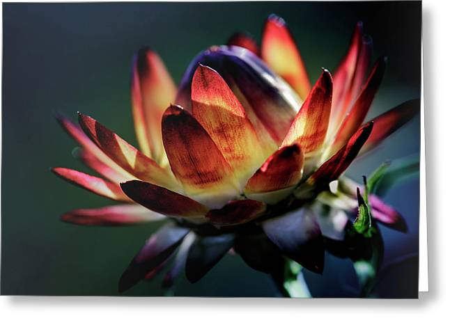 Glowing Wild Flower Nr. 2 Greeting Card by Mah FineArt
