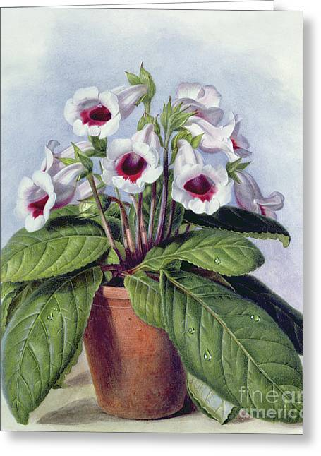 Gloxinia In A Pot Greeting Card by Augusta Innes Withers