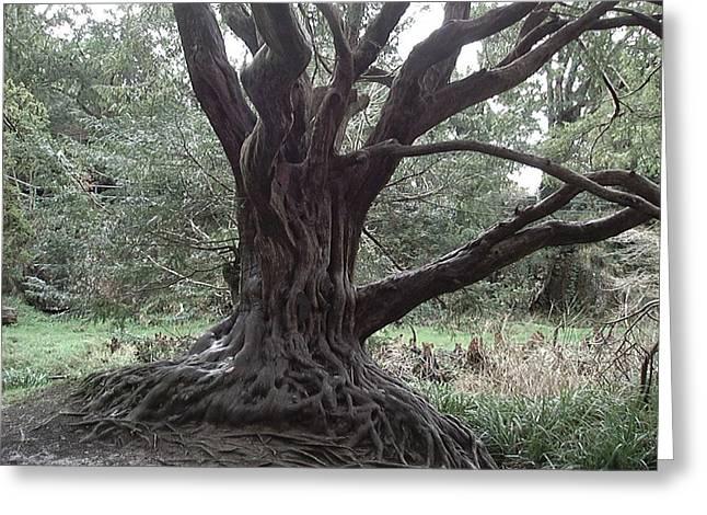 Gnarled Oak Greeting Card by William Thomas