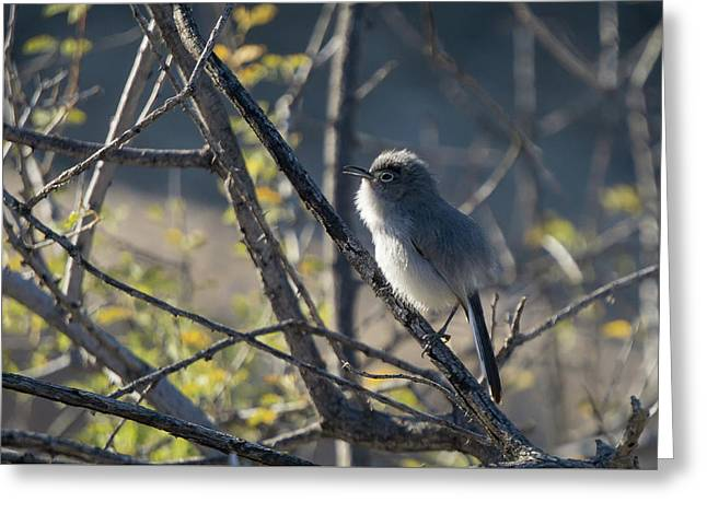 Gnatcatcher Greeting Card