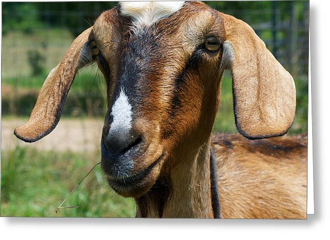 Goat 8 Greeting Card by Skip Willits