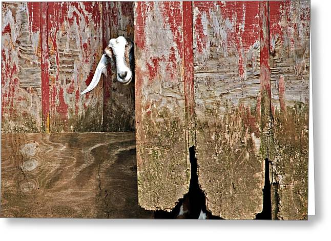 Goat And Old Barn Door Greeting Card