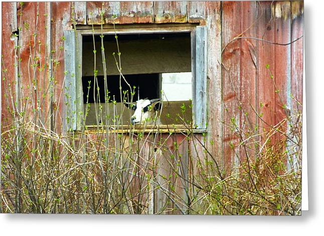 Goat In The Window Greeting Card by Donald C Morgan