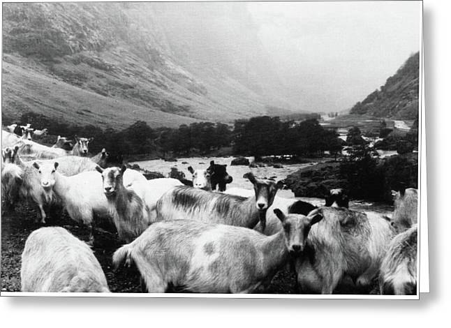 Goats In Norway- By Linda Woods Greeting Card by Linda Woods