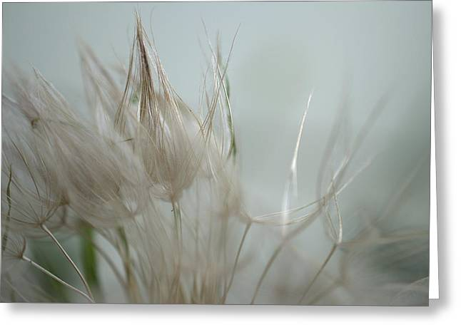 Goatsbeard Seedhead Greeting Card by Aliceann Carlton