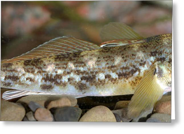 Goby Fish Greeting Card by Ted Kinsman