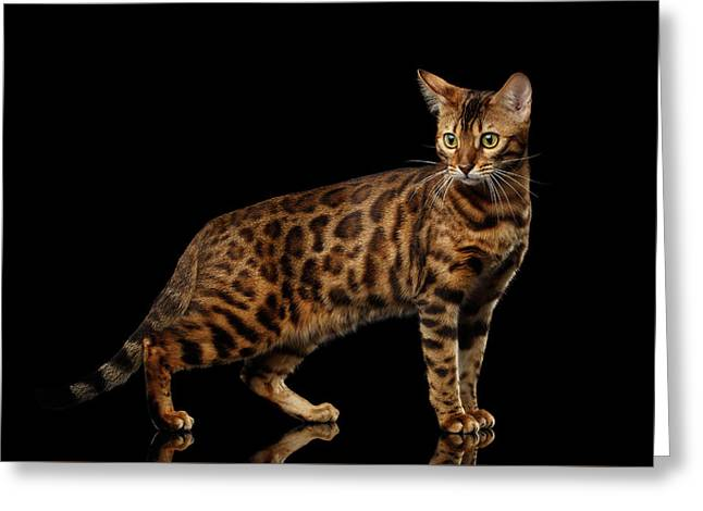 Gold Bengal Cat On Isolated Black Background Greeting Card by Sergey Taran