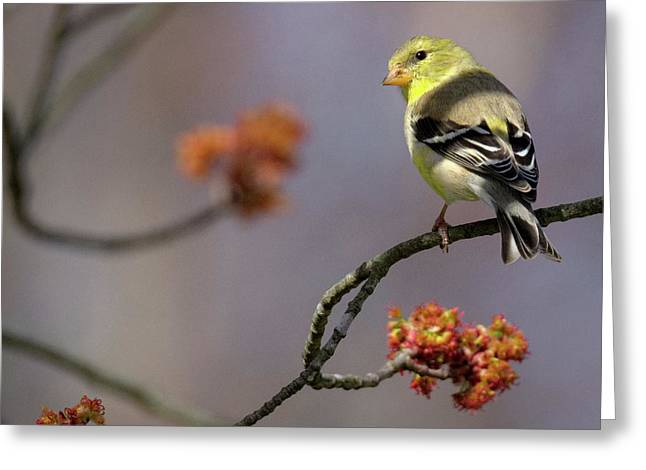 Gold Finch 2017 Square Greeting Card