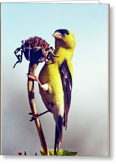 Gold Finch On Dried Zinnia Greeting Card