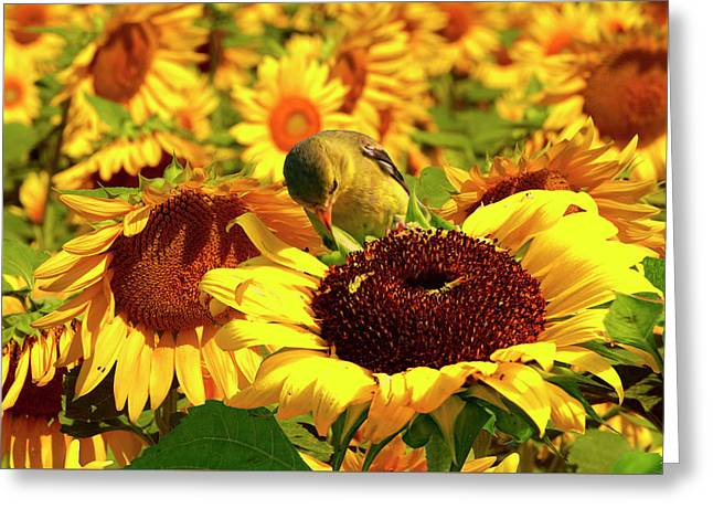 Gold Finch On Sunflower 11 Greeting Card