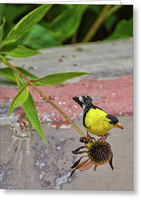 Greeting Card featuring the photograph Gold Finch by Rick Hartigan