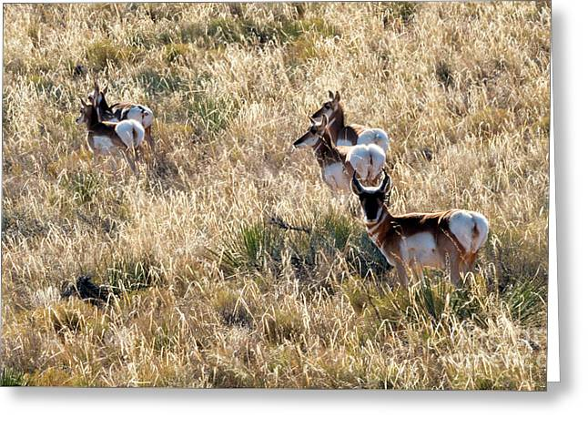 Golden Antelope Herd Greeting Card by Mike Dawson